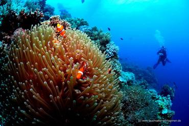 Clownfish am Riff - Tauchsafari Philippinen