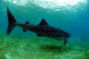 Walhai - Tauchsafari Philippinen