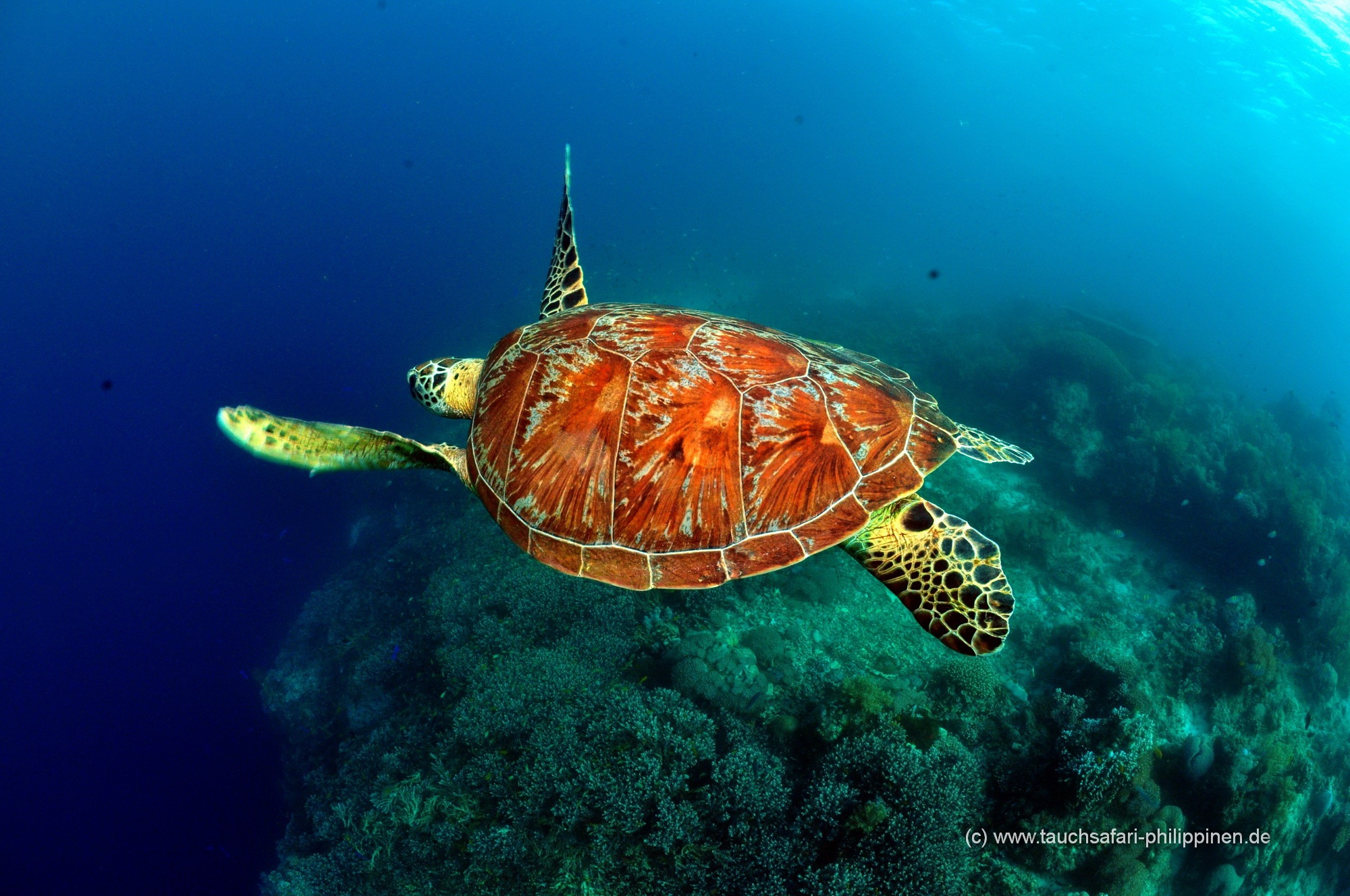 On vous assure des rencontres avec les nombreux tortues pendant presque chaque plongée.