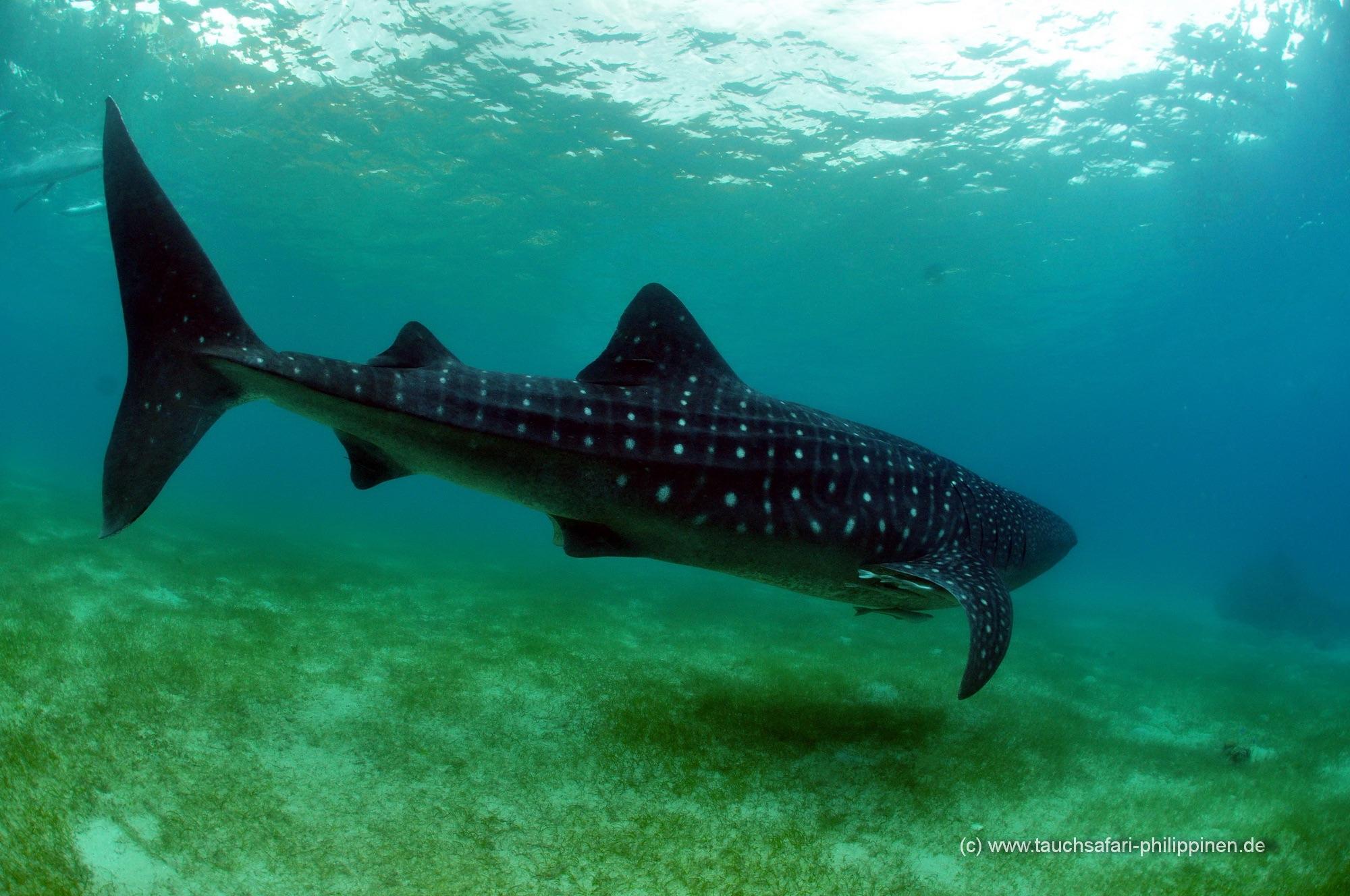 Vous aurez la chance de plonger avec le requin baleine. Une expérience inoubliable.