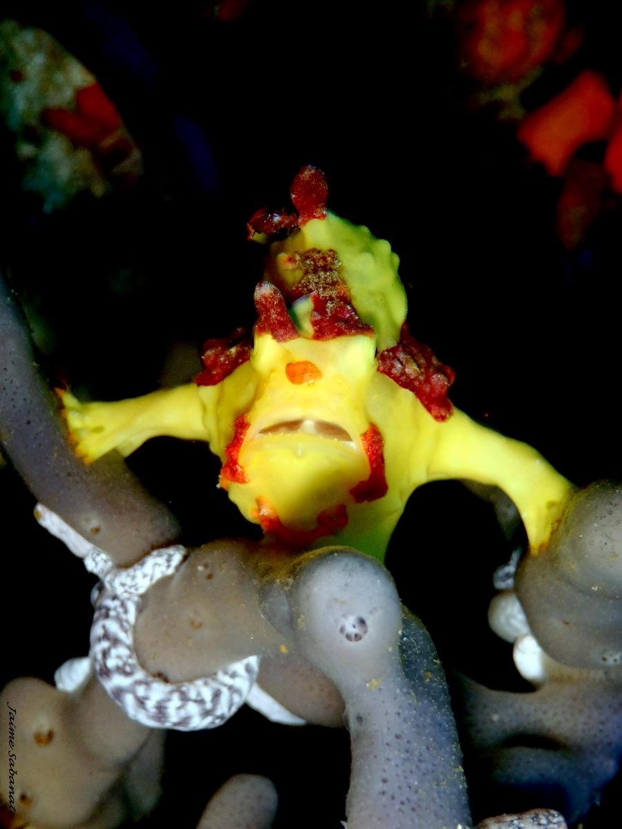 Le poisson-grenouille en pose pour le photographe.