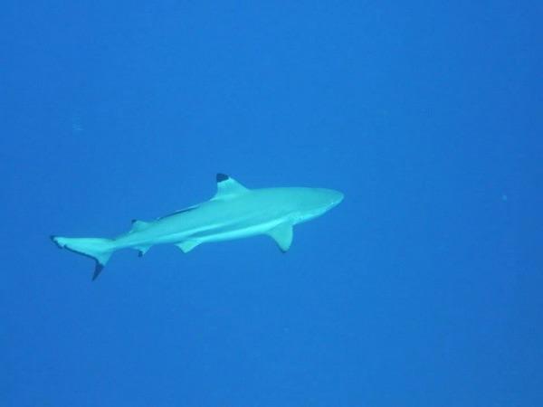 Le requin à pointe noire en patrouille de son récif.